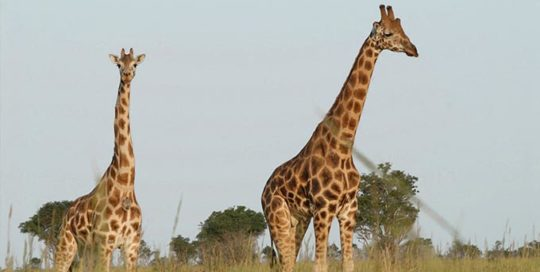 Giraffes - International Animal Exchange | Safe Worldwide Animal Transportation