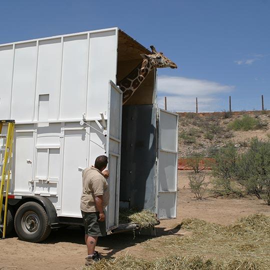 Giraffe Delivery