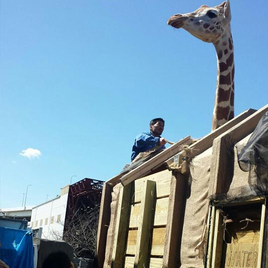 Giraffe Transporation