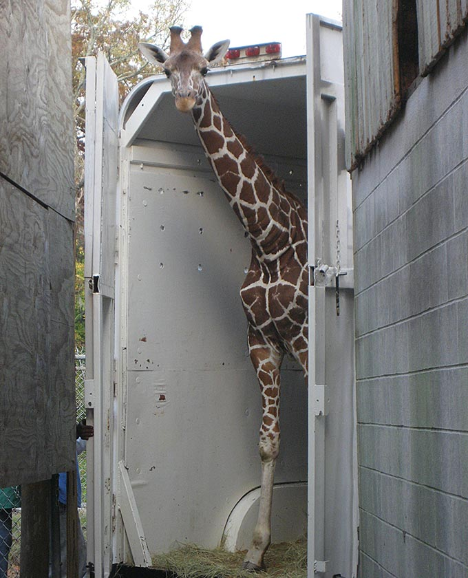 Giraffe Transportation - International Animal Exchange | Safe Worldwide Animal Transportation